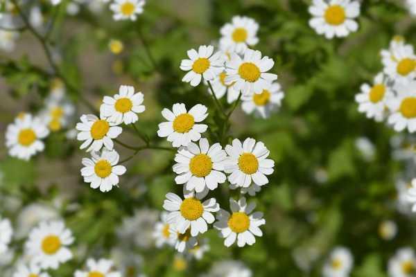 Feverfew: Herb of Athena