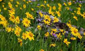 Is it Wolf's Bane? Leopard's Bane? No Just Arnica