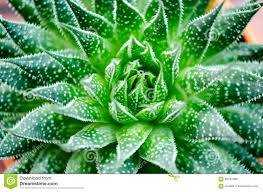 Pot of Gold: The Healing Power of Aloe