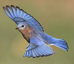 b2ap3_thumbnail_bluebird-in-flight.jpg