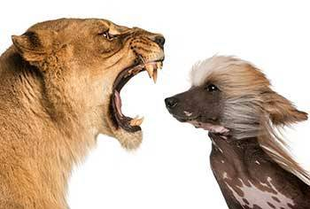 b2ap3_thumbnail_lioness-confronting-dog.jpg