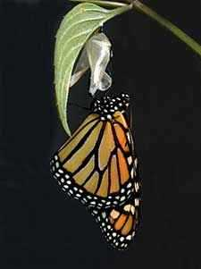 b2ap3_thumbnail_monarch-emerging.jpg