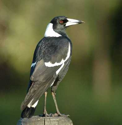 AUSTRALIAN MAGPIE: Defense of Home