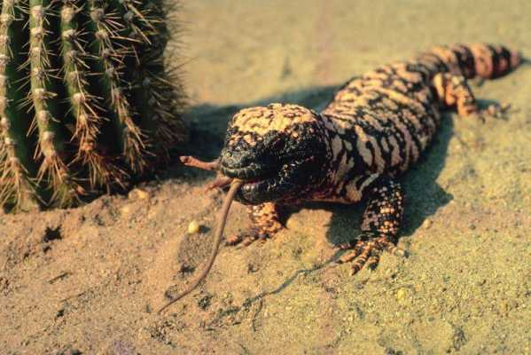 GILA MONSTER: Discerning Fact from Fiction