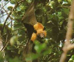 Fruit Bats (Flying Foxes): Know What is Important