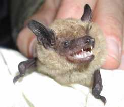 Big Brown Bat: Unintended Consequences