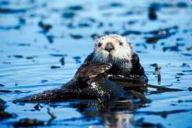 SEA OTTER: Second Chances