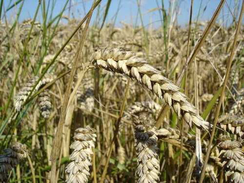 b2ap3_thumbnail_800px-Wheat_close-up.JPG