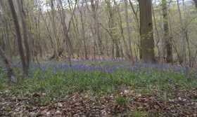 Grandmother Bluebells