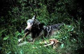 I am Bear, I am Wolf: Anger Meditation