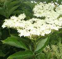 elderflowers.jpg