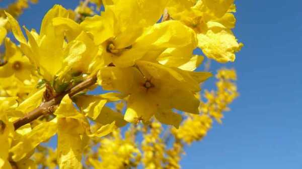 The Magical Properties of Forsythia