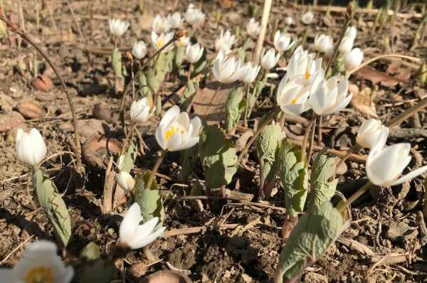 Bloodroot: A Not-So-Scary Plant