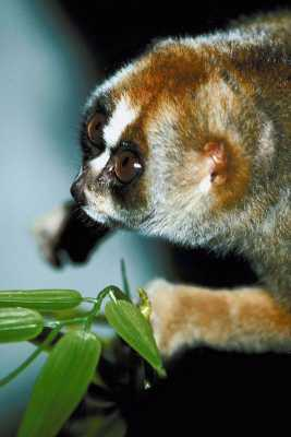 Slow Loris: Experiencing the World of Smell