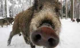 Throng of Boars