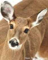 The Deer Wife
