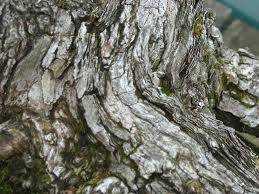 Old Lady Hawthorn
