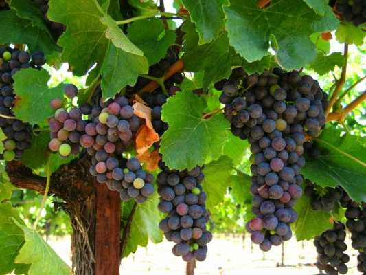 Let's Celebrate the Feast of Grapes